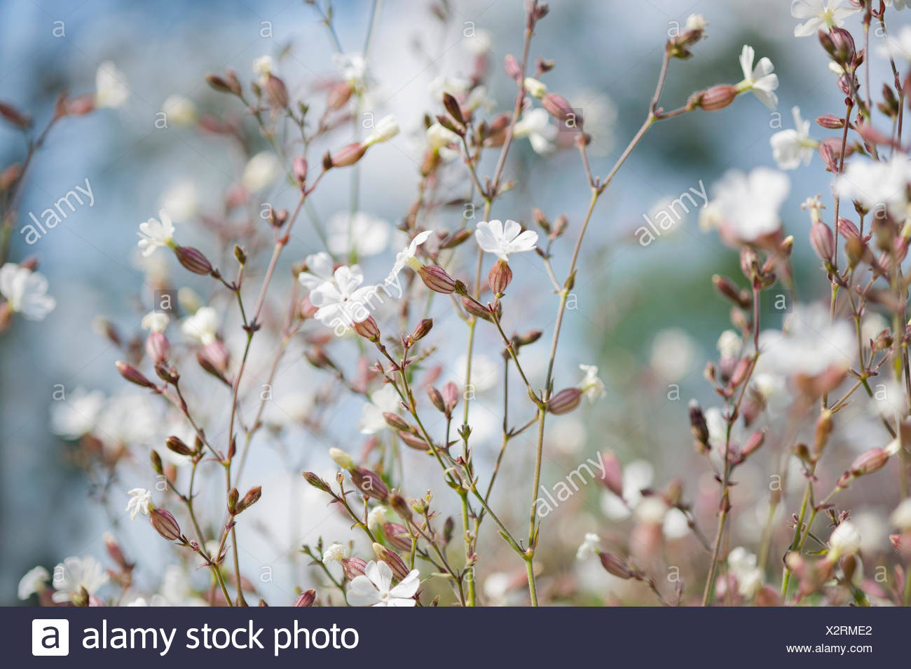 Campion, Lychnis flos-jovis. Side view of many slender stems with white flowers and pink calyxes against pale blue background. Stock Photo