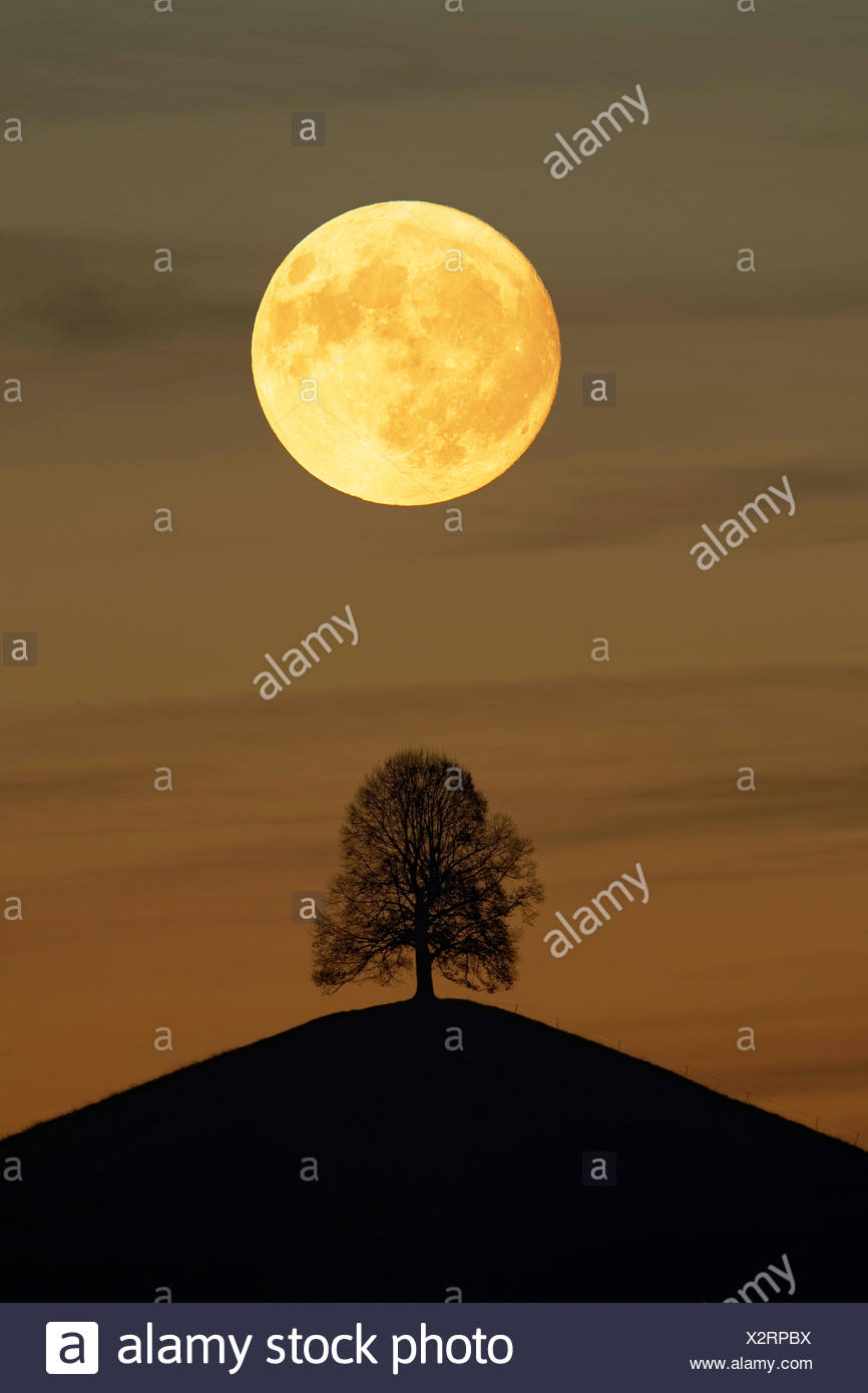 Solitaire tree, Linden tree (Tilia), on moraine hills at full moon, Canton Zurich, Switzerland - Stock Image