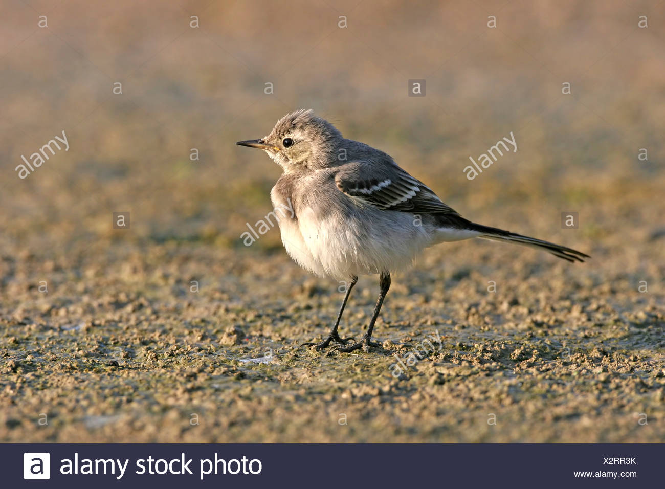 pied wagtail (Motacilla alba), standing, Germany - Stock Image