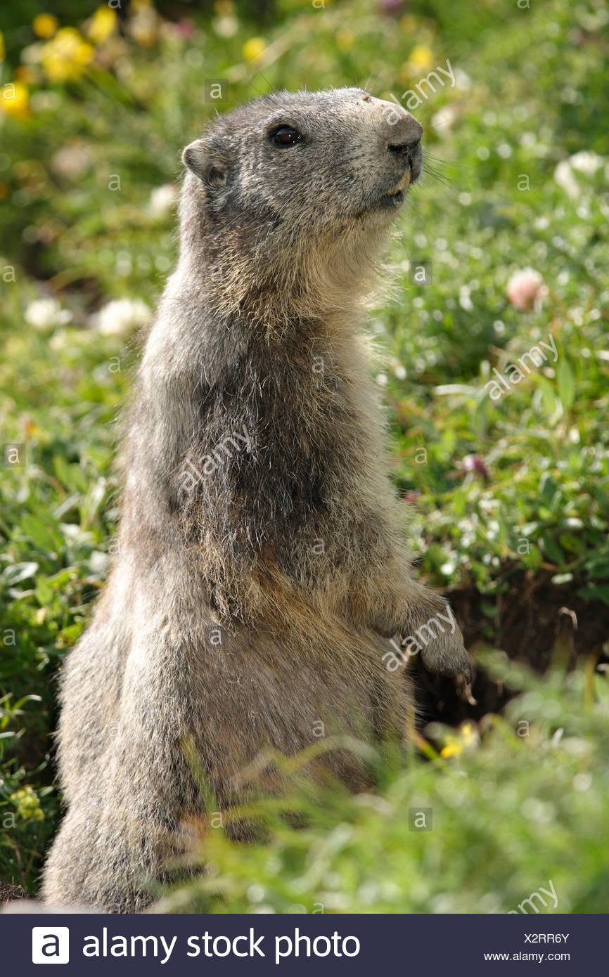 woodchuck (Marmotta marmotta) - Stock Image