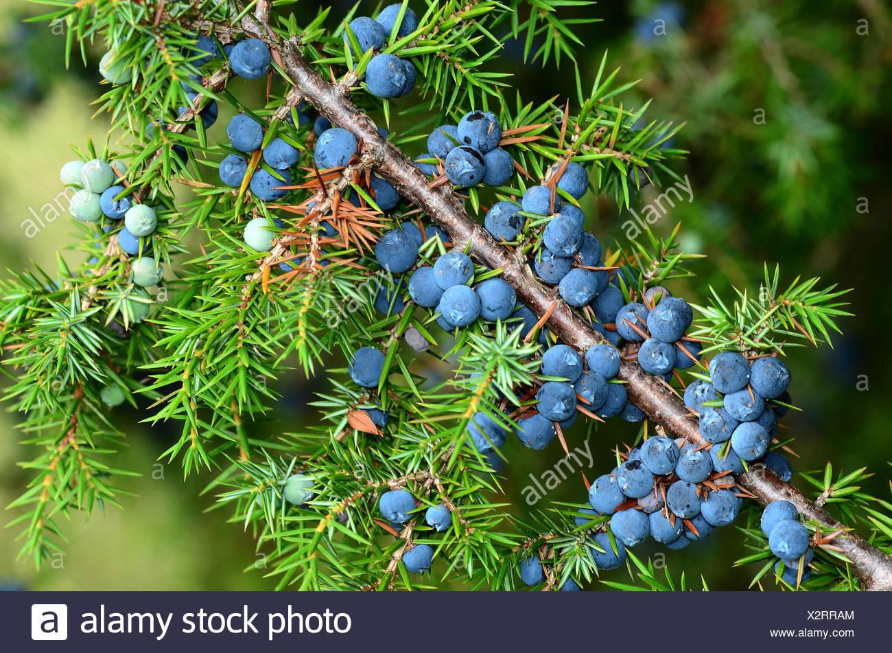 Junipers Berries Stock Photo 277118428 Alamy