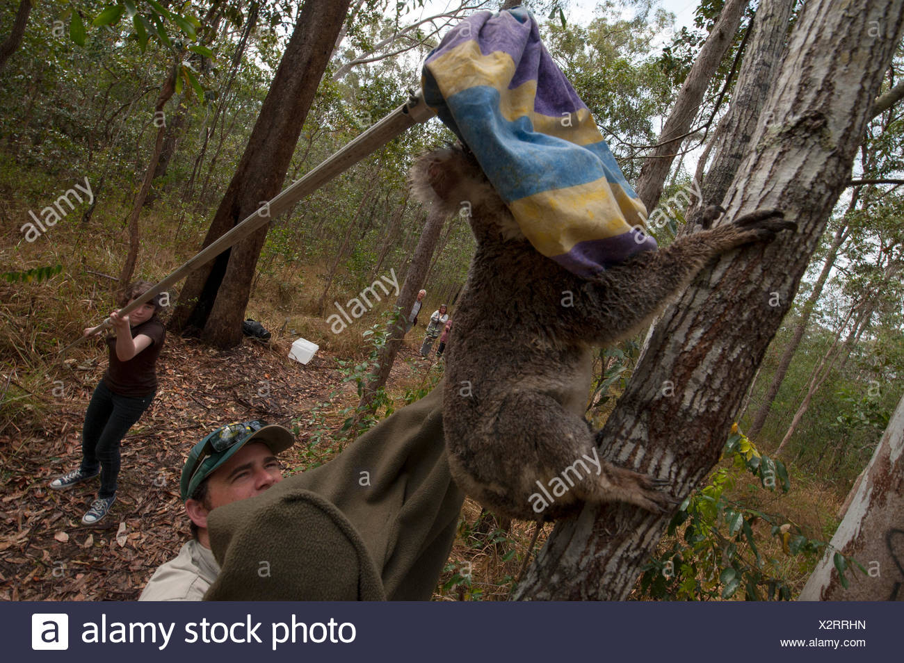 A sick federally threatened koala is captured for treatment. - Stock Image