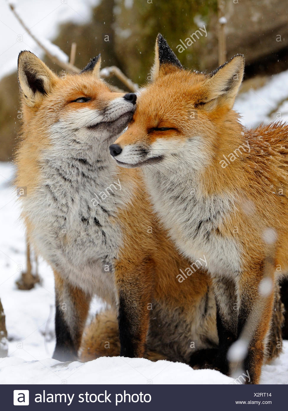 red fox (Vulpes vulpes), two foxes standing side by side in the snow caressing each other, Germany - Stock Image