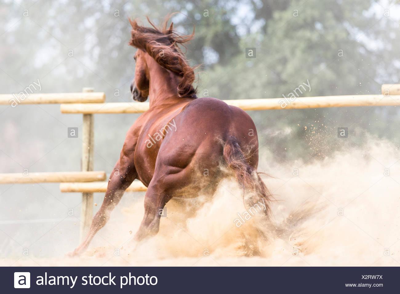 American Quarter Horse Sorrel stallion stopping dusty paddock Tuscany, Italy - Stock Image