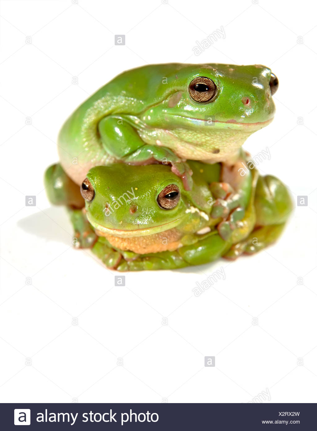 isolated tree animal amphibian photo camera frog wildlife greenback tree frog frogs image picture copy deduction lawn green - Stock Image