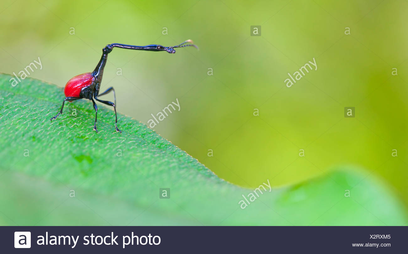 Giraffe necked weevil male on leaf of Dichaetanthera cordifolia, on which it feeds. Tropical rainforest, Mantadia NP, Madagascar - Stock Image