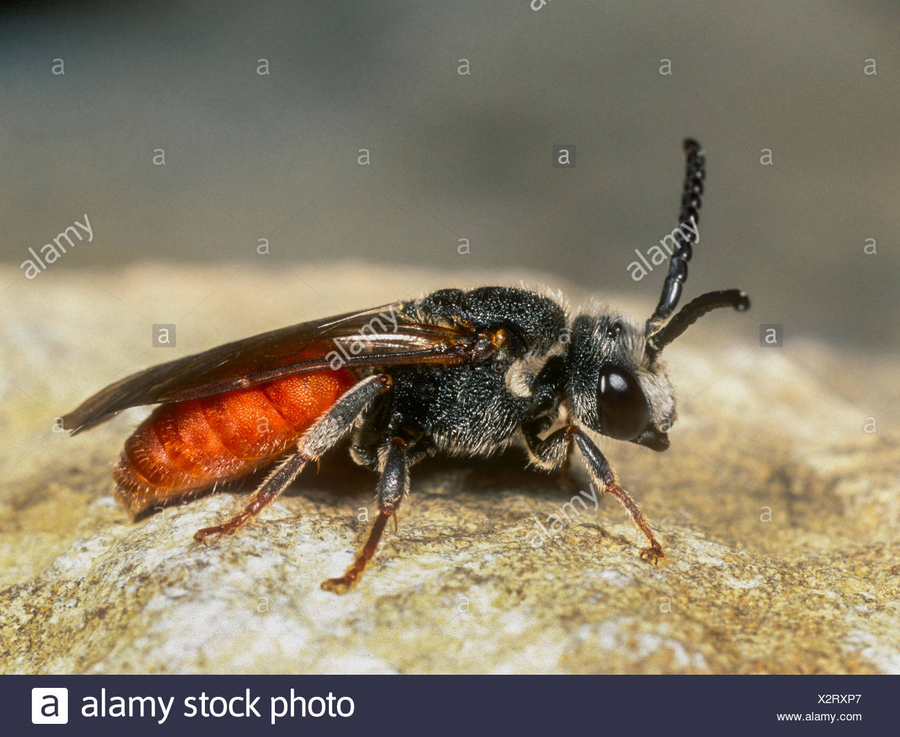 Grosse Blutbiene, Grosse Blut-Biene (Sphecodes albilabris), Weibchen, Deutschland | Blood bee (Sphecodes albilabris), female, Ge - Stock Image