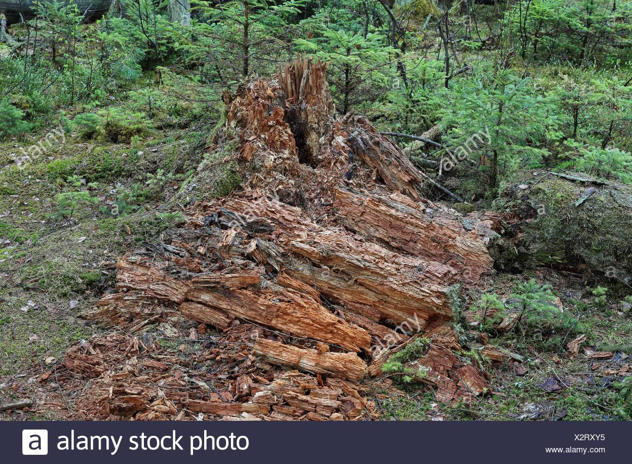 Holzzerfall, Bannwald, Pfrunger-Burgweiler Ried, Deutschland Stock Photo