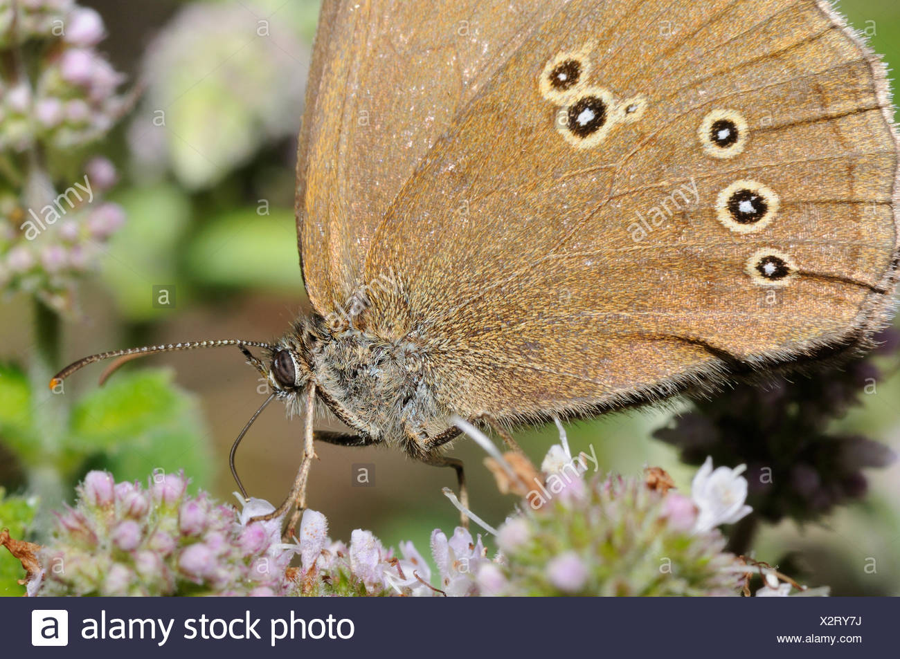 Ringlet foraging on a flower - Northern Vosges France - Stock Image
