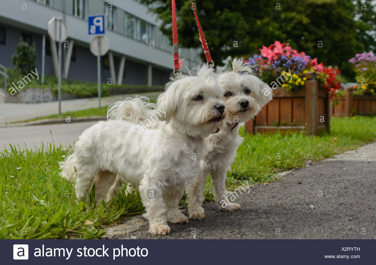 Two Maltese dogs are running on the Leash - Stock Image