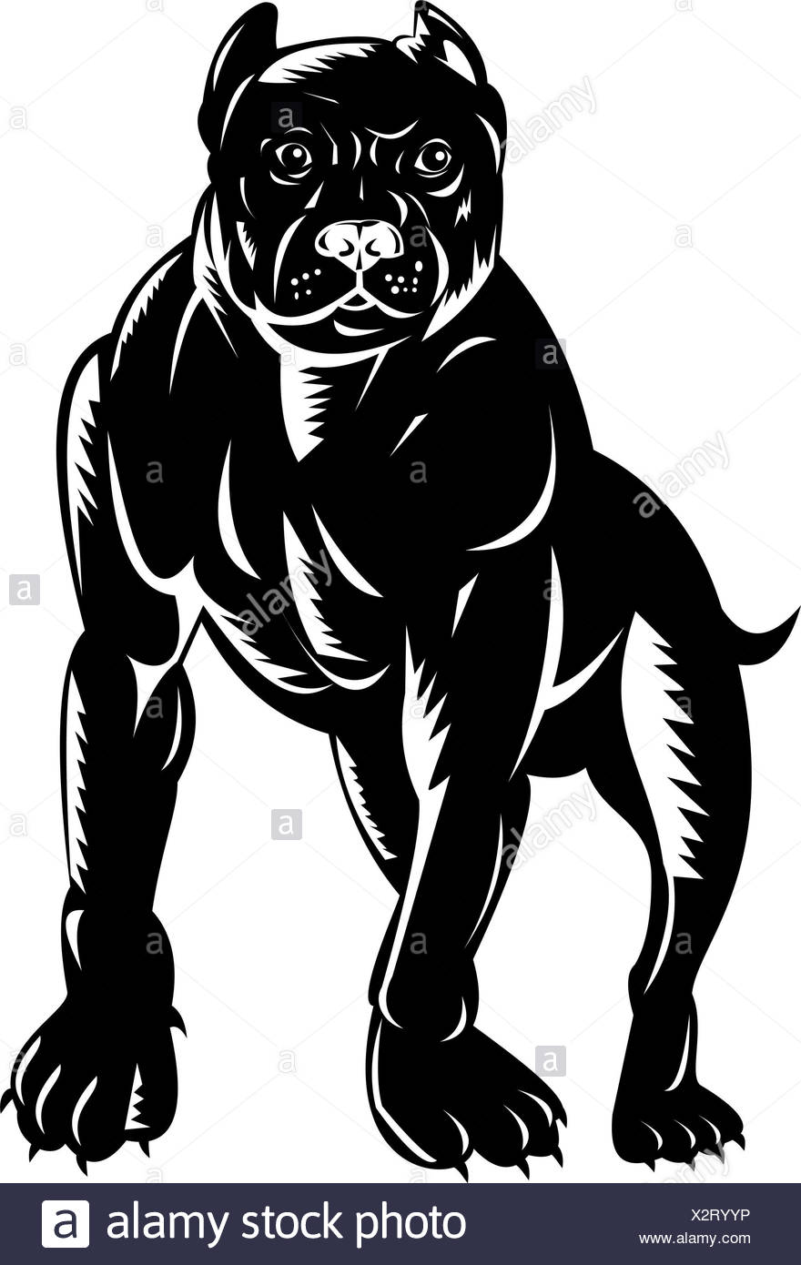 isolated,pet,illustration,canine,head,pitbull,pit bull,boxer dog,woodcut - Stock Image