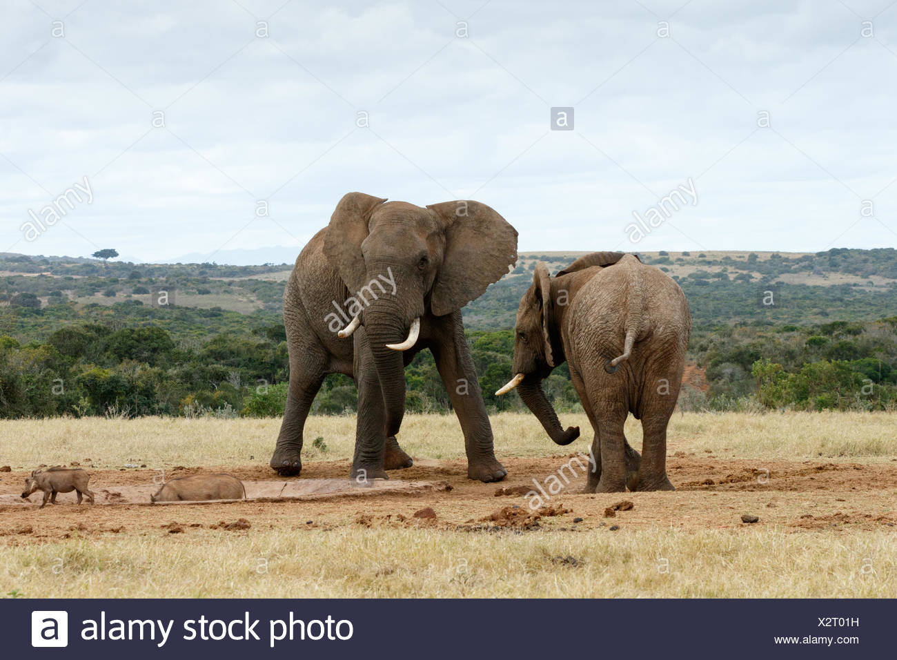 Stand OFF African Bush Elephants - Stock Image