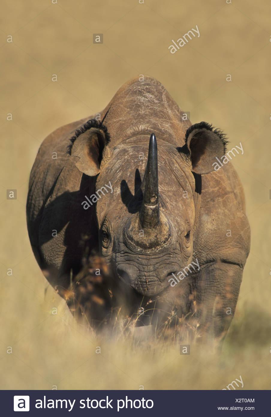 Kenya White rhinoceros Ceratotherium simum Kenya Stock Photo