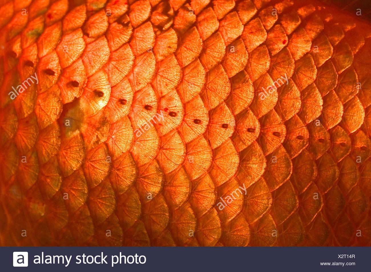 Goldfish, scales, close up, Carassius auratus, captive - Stock Image