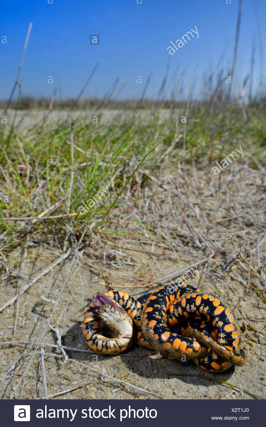 dice snake (Natrix tessellata), snake playing dead, Romania, Dobrudscha, Biosphaerenreservat Donaudelta, Sf�ntu Gheorgh - Stock Image