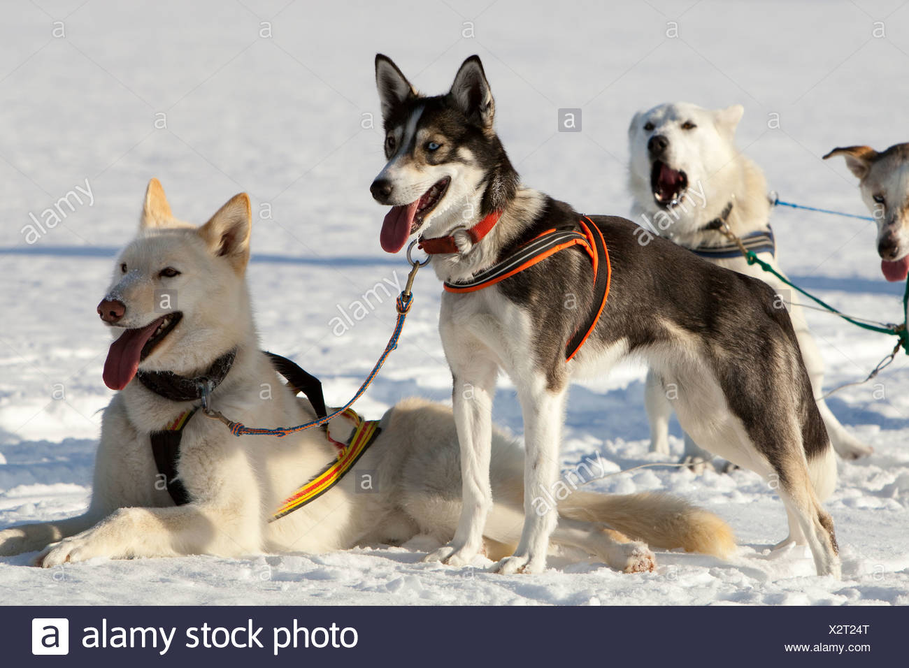 Sled Dog Harnesses Leads Wire Center Snow Hd Wiring Harness Dogs Lead Alaskan Huskies In Panting Resting Rh Alamy Com Weight Sleds