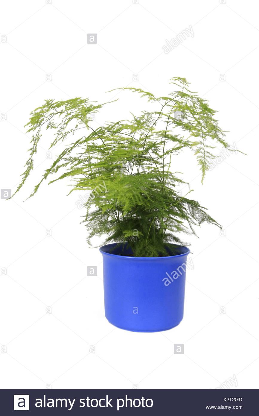 Cypress Asparagus Fern Asparagus Fern Plumosa Fern Asparagus Setaceus Asparagus Plumosus Asparagsu Setaceus Plumosus Pla Stock Photo Alamy