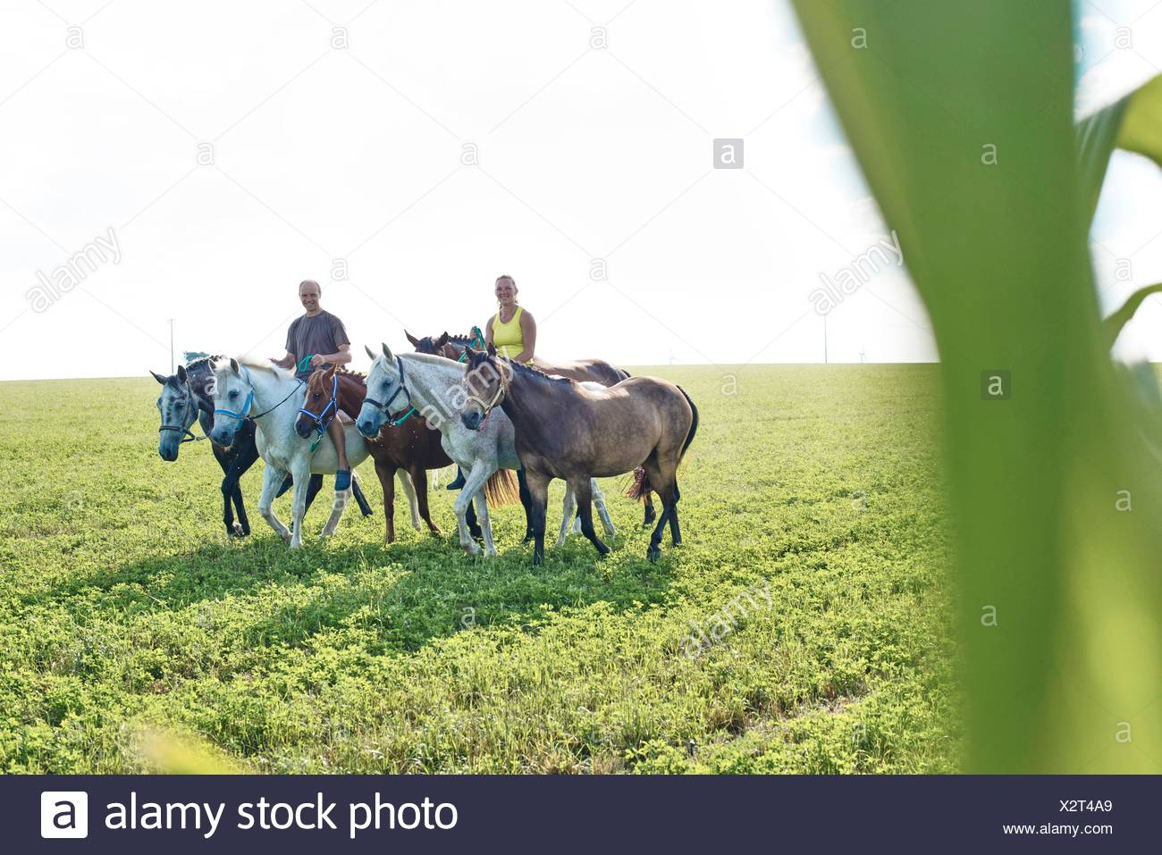 Woman and man riding and leading six horses in field - Stock Image