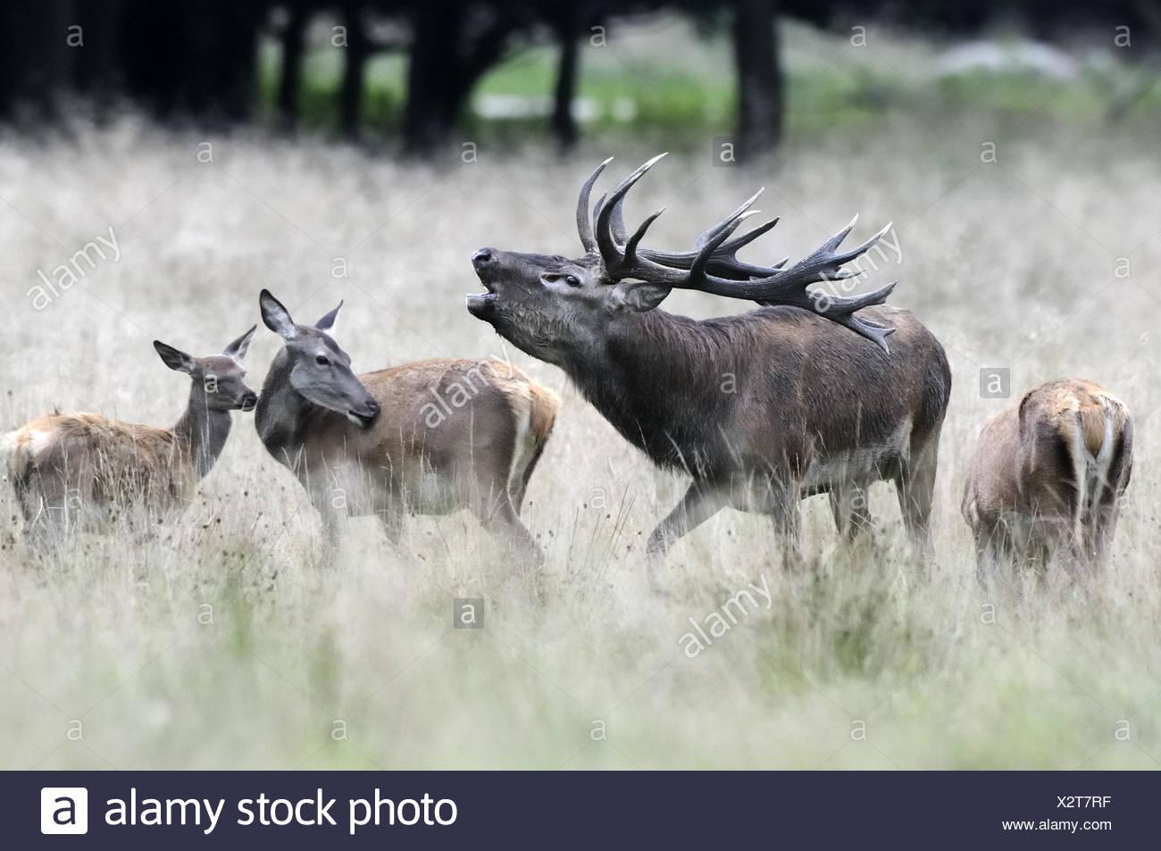 Red Deer Cervus Elaphus Deer Bell Rutting Season Wood Grass Red Deer Deer Big Game Rut Wild Animals Animals Group Call Antlers Deer Antlers Hinds Three Nature Stock Photo Alamy