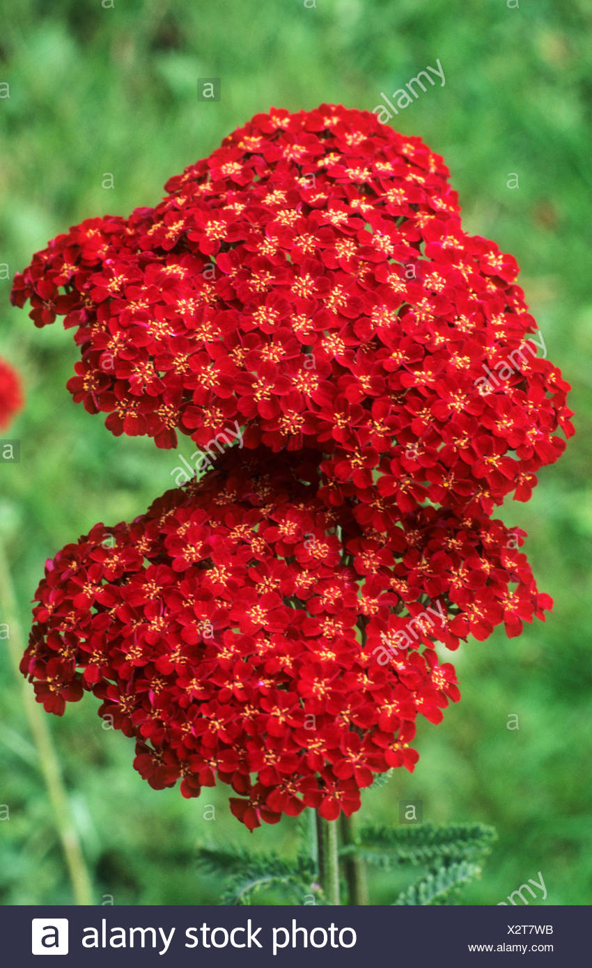 Achillea 'Faust' red flower garden plant Stock Photo
