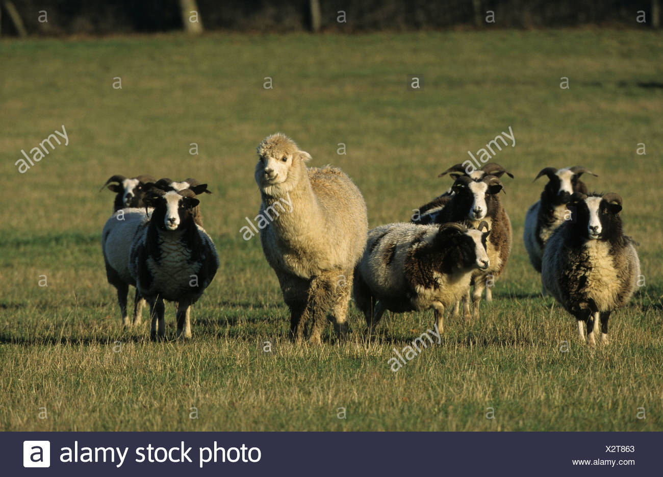 Alpaca (Lama pacos) adult, standing with Jacob Sheep flock in pasture, England - Stock Image