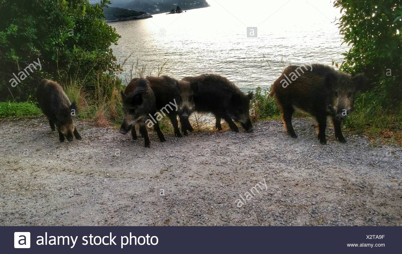 Wild Boars At Lakeshore - Stock Image