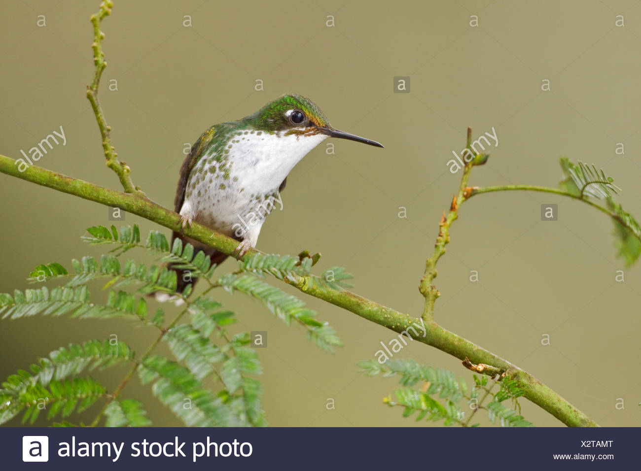 A Booted Racket-tail hummingbird (Ocreatus underwoodii) perched on a branch in the Tandayapa Valley of Ecuador. - Stock Image