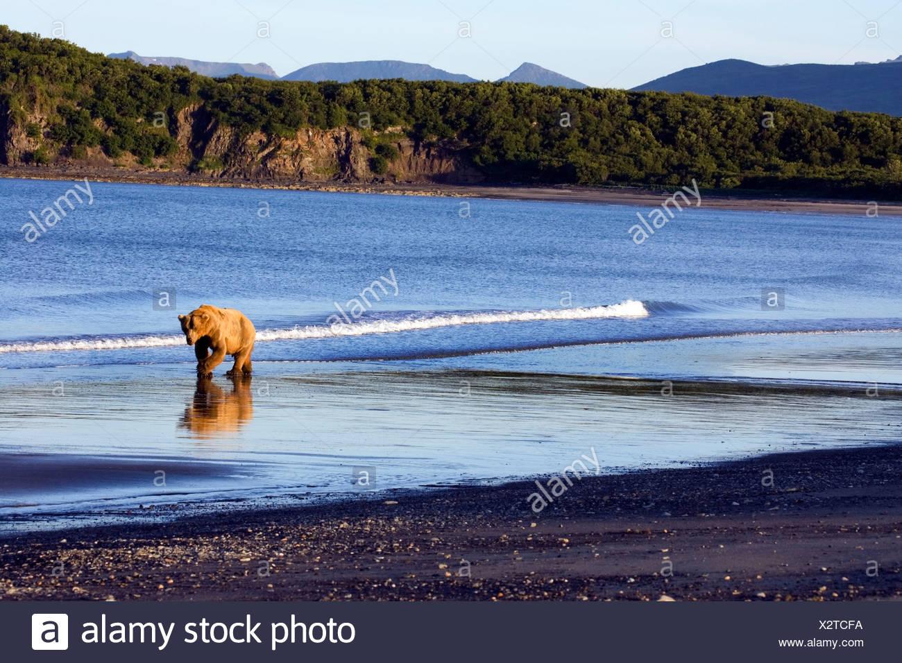 Brown bear walks along the shoreline in the Kaguyak area of Katmai National Park, Alaska - Stock Image