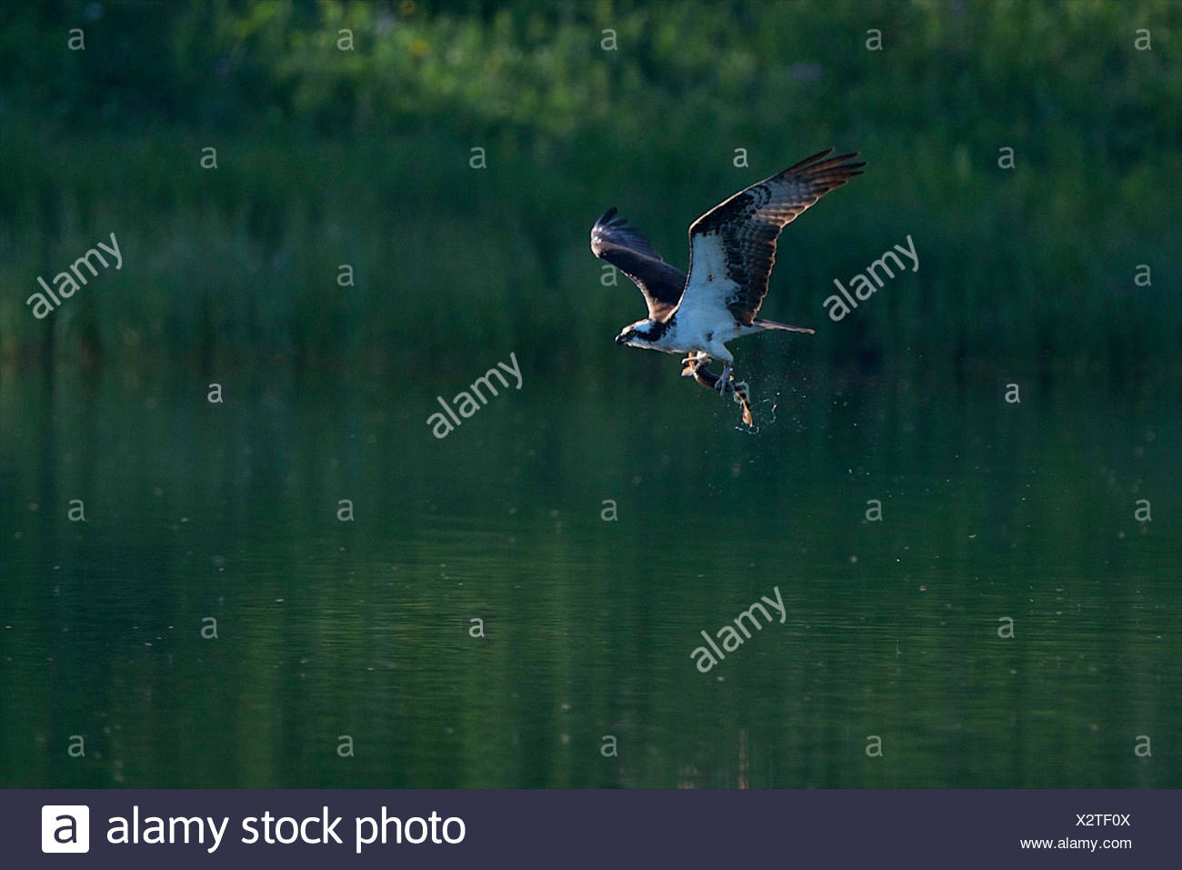 An osprey flying over the water with a fish in its talons. - Stock Image