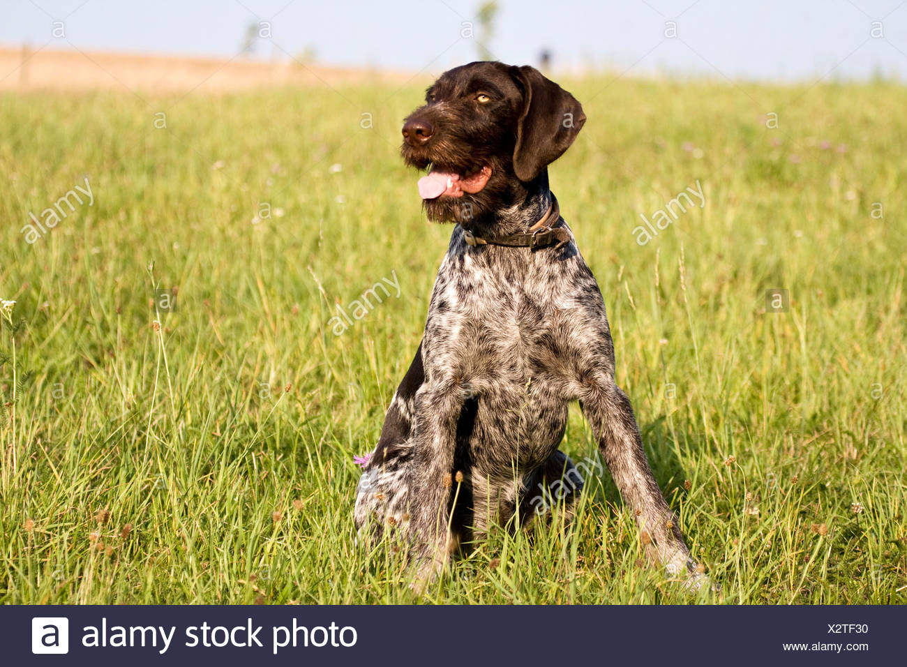 German Wirehaired Pointer, hunting dog - Stock Image