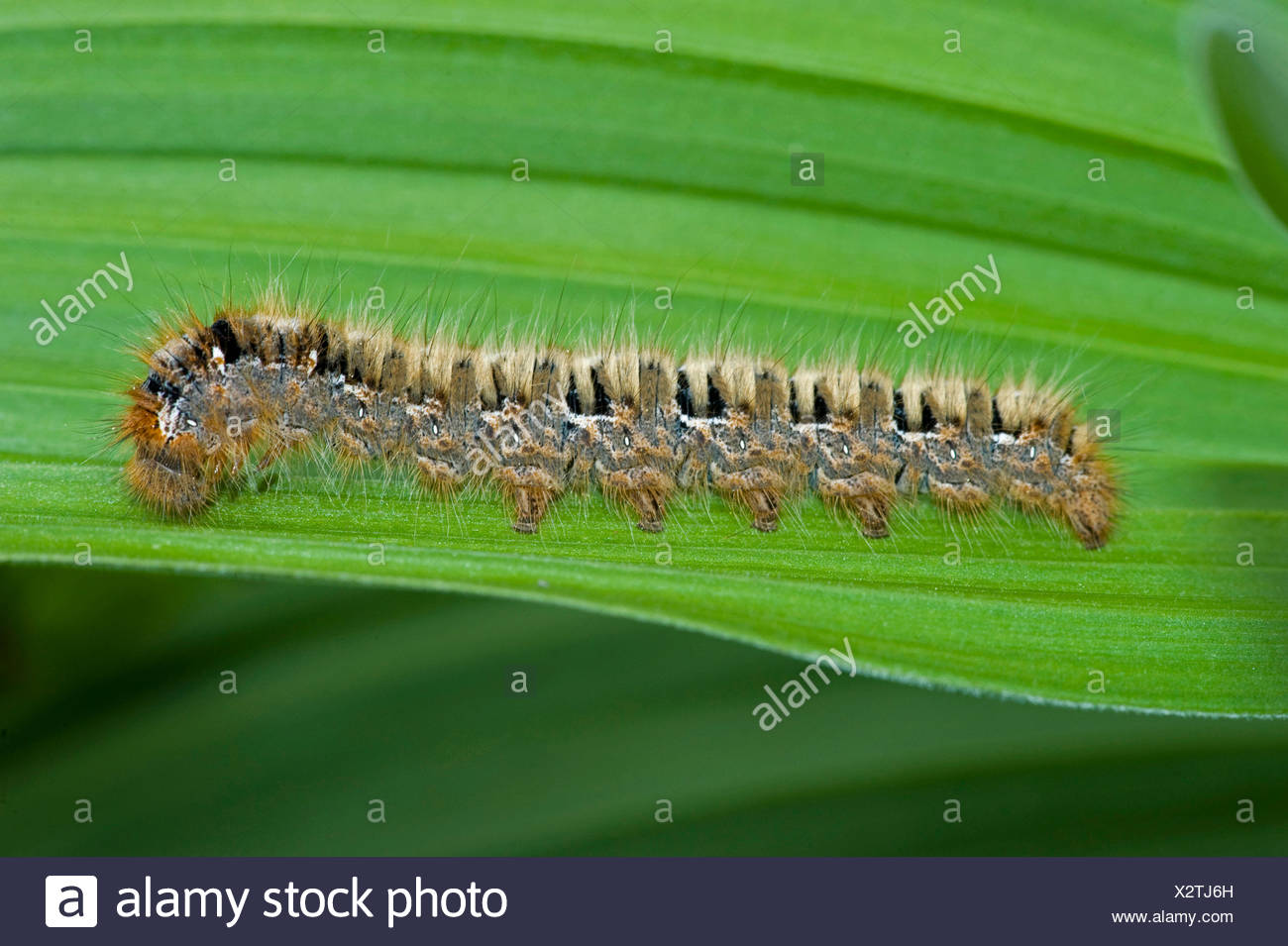 oak eggar (Lasiocampa quercus), caterpillar on leaf, Switzerland, Bernese Oberland - Stock Image