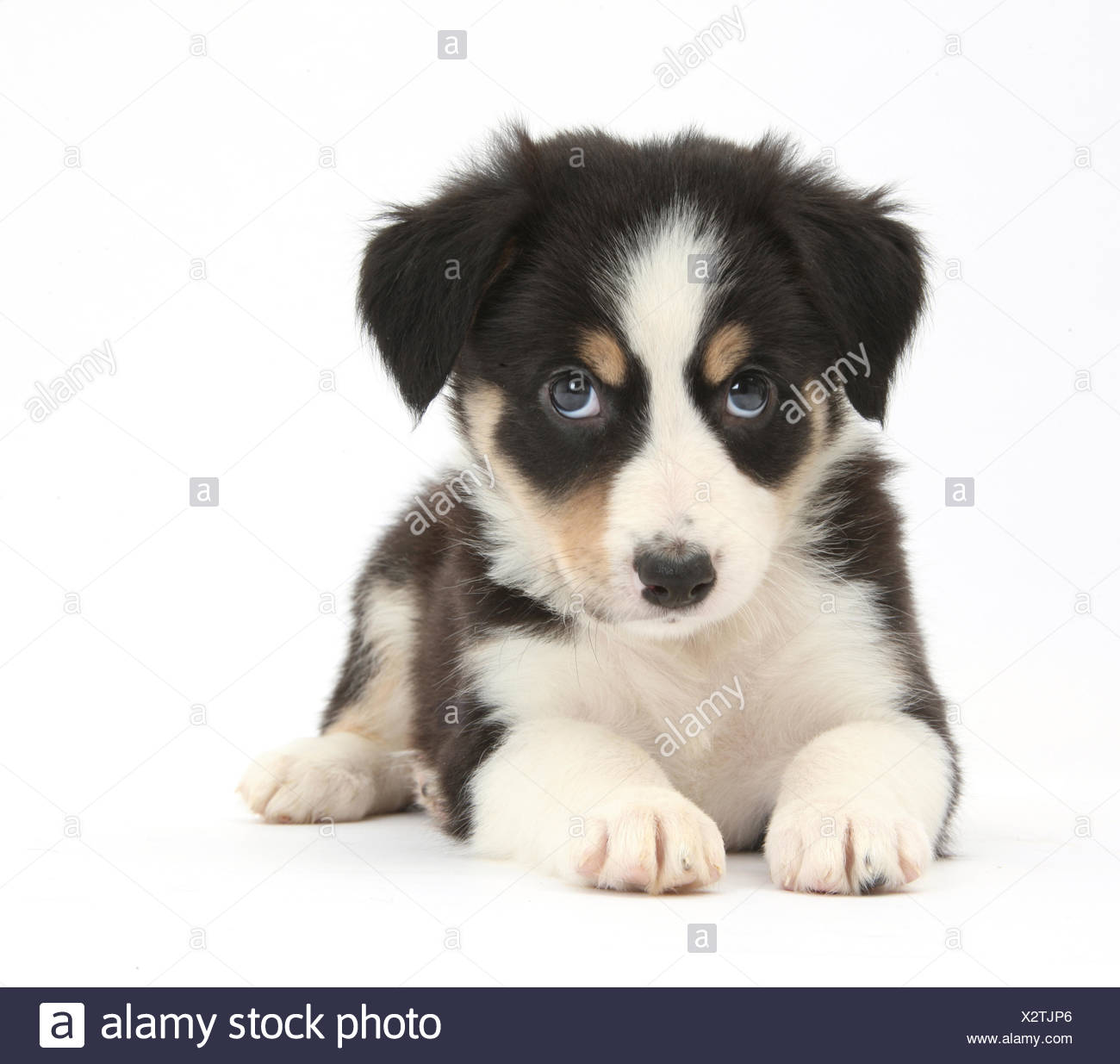 Tricolour Border Collie Puppy Stock Photo Alamy