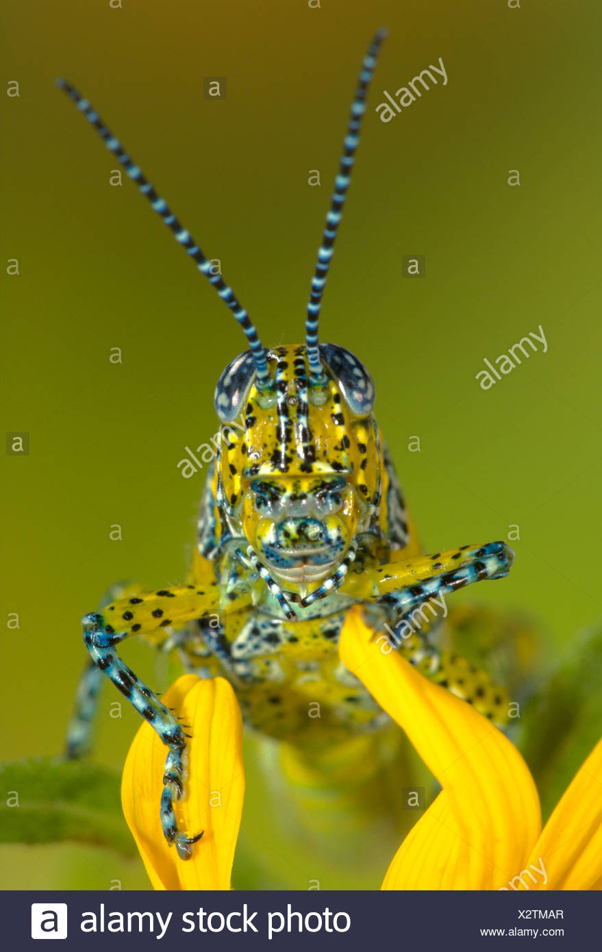 PANTHER-SPOTTED GRASSHOPPER (Poecilotettix pantherinus) native to southern Arizona and northwestern Mexico. - Stock Image