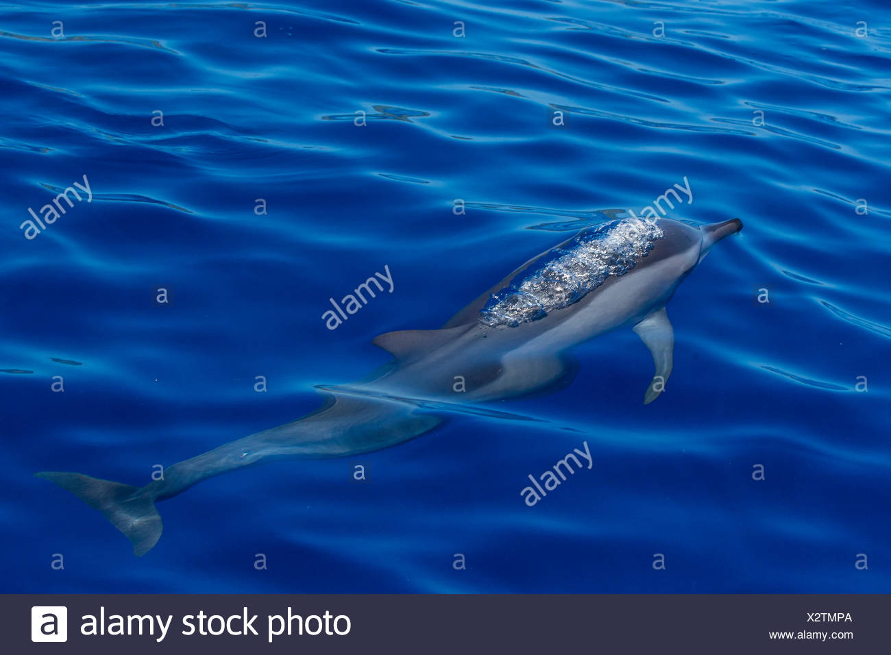 View from above of a spinner dolphin swimming on the ocean's surface. - Stock Image