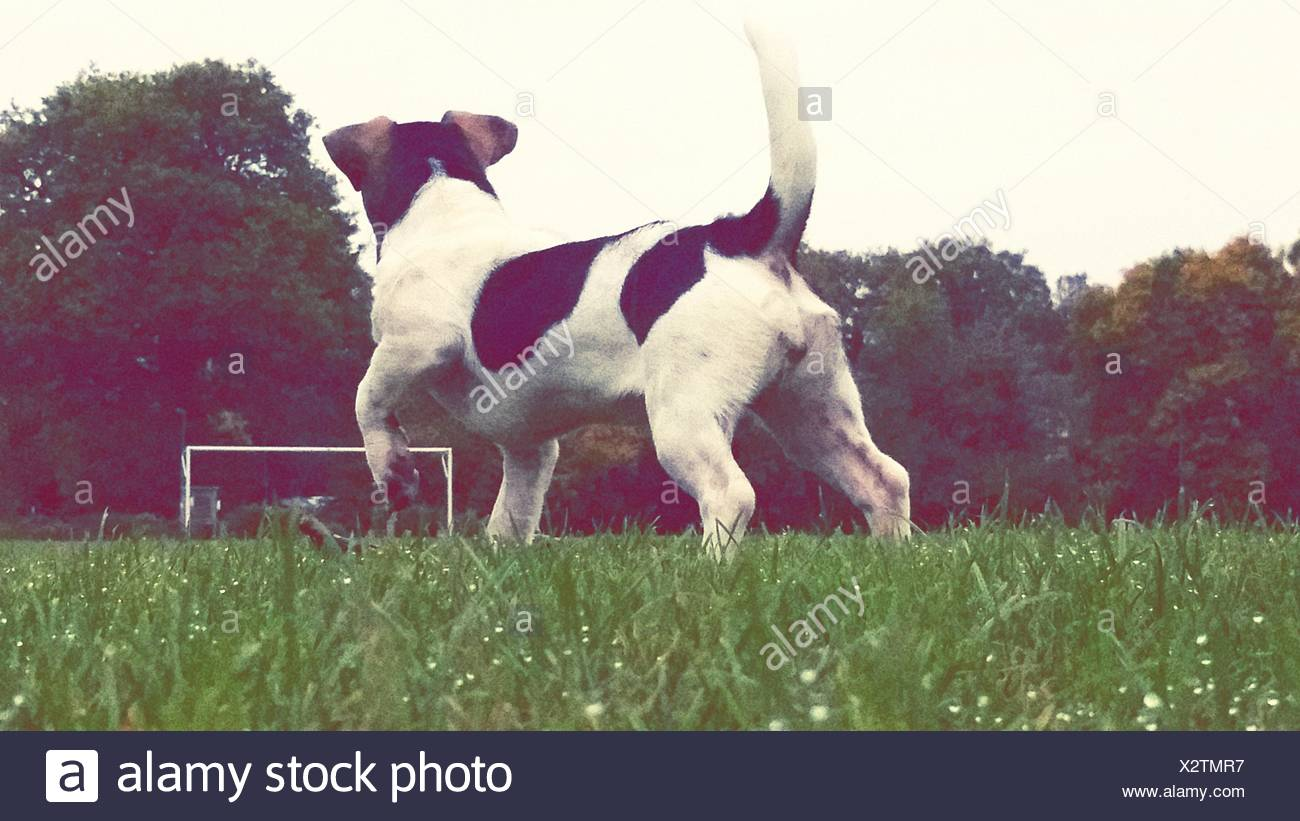 Rear View Of Dog Running On Grassland - Stock Image