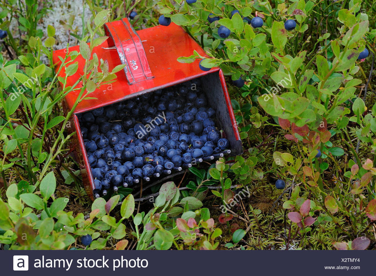 Close-up of blueberries amid leaves - Stock Image