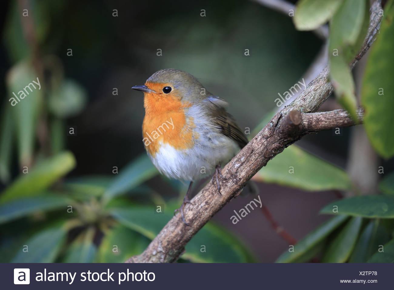 European robin, Erithacus rubecula - Stock Image