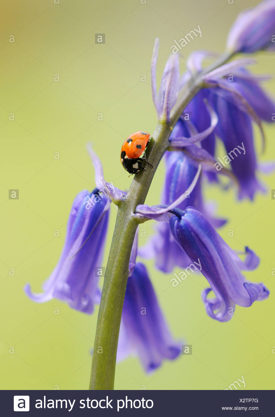 Hyacinthoides non-scripta Common English Bluebell or wild hyacinth with seven spot ladybird on the floral spike. Stock Photo