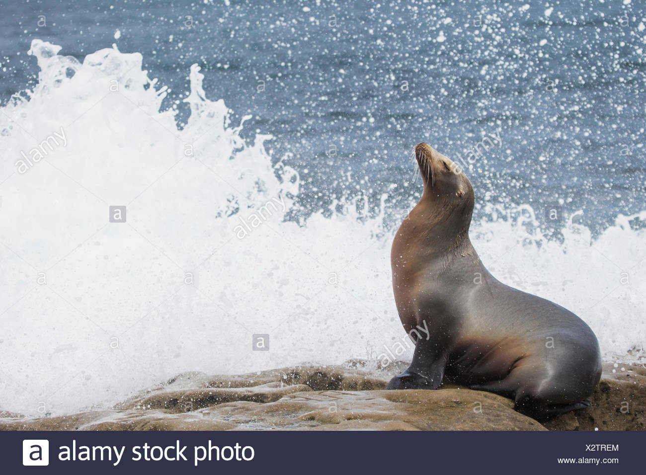 Portrait of a California sea lion, Zalophus californianus, basking in the surf. - Stock Image