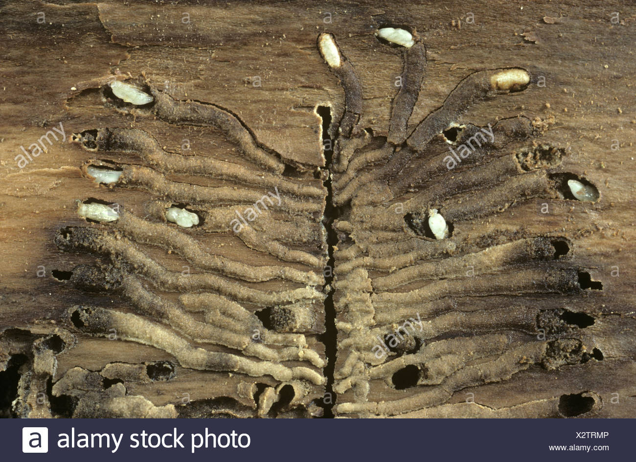 Bark Beetle pupae and galleries - Stock Image