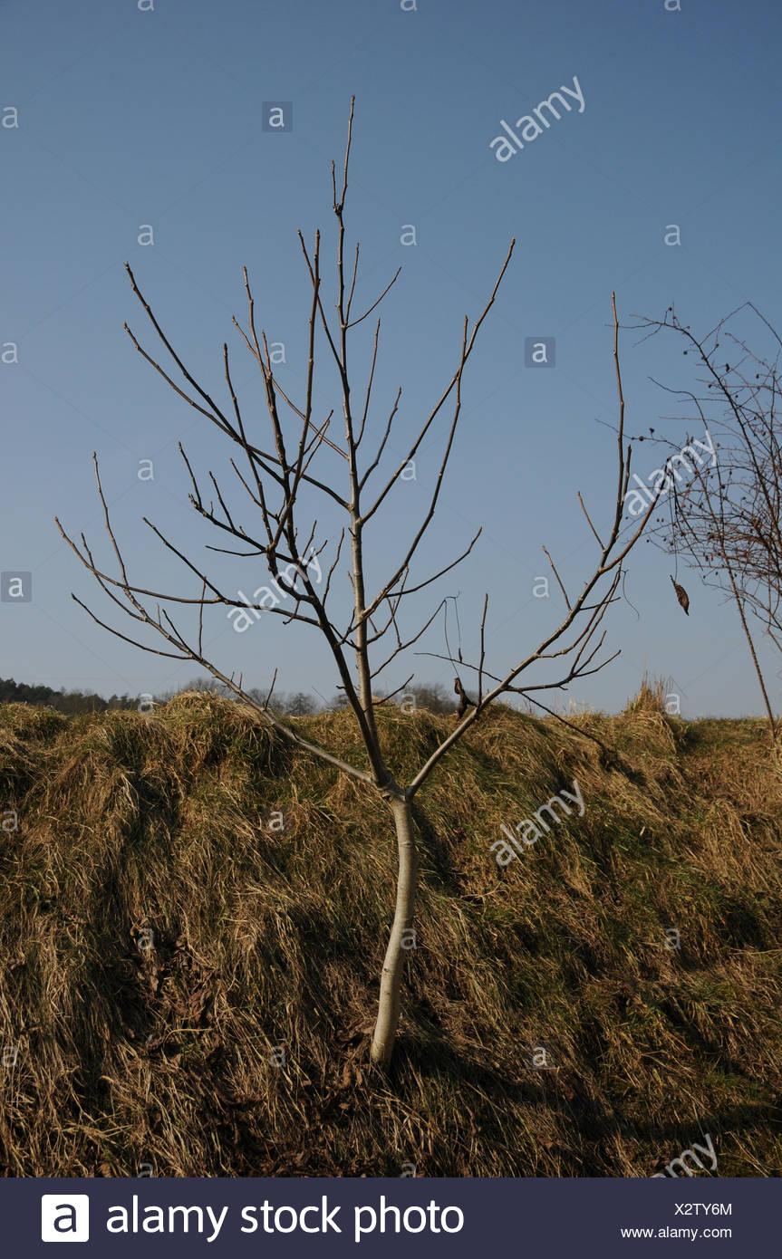 Walnut tree, seedling - Stock Image