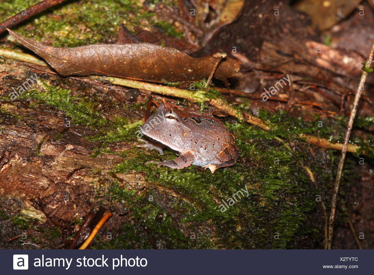 Amazon horned frog, Ceratophrys cornuta. Aggressively territorial and voracious. Will attack anything their size or smaller. Their ravenous appetite and huge mouths have earned them and other horned frogs the pet-trade nickname Pac Man frogs. - Stock Image