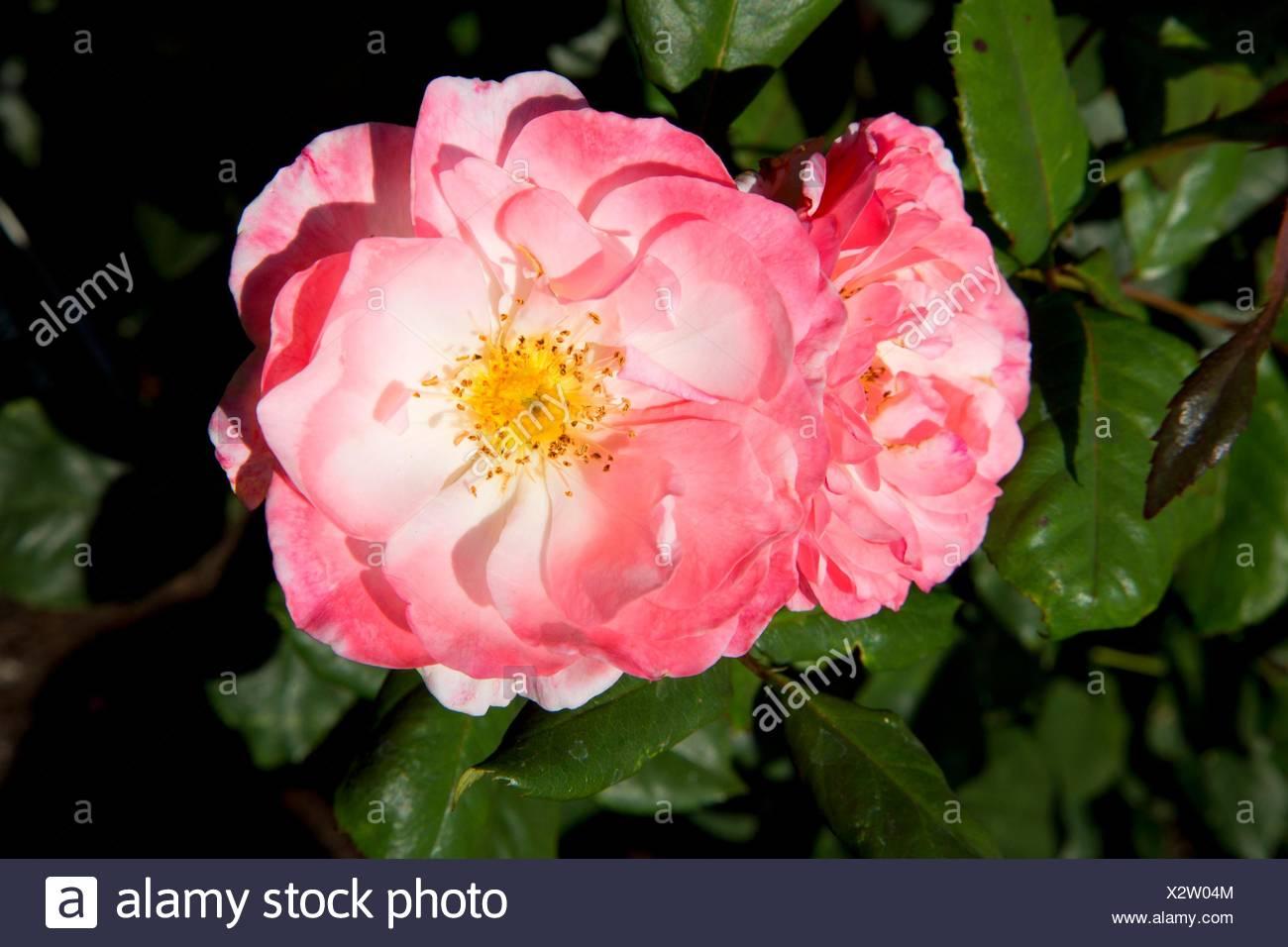 English Miss rose, Heirloom Roses, St Paul, Oregon. - Stock Image