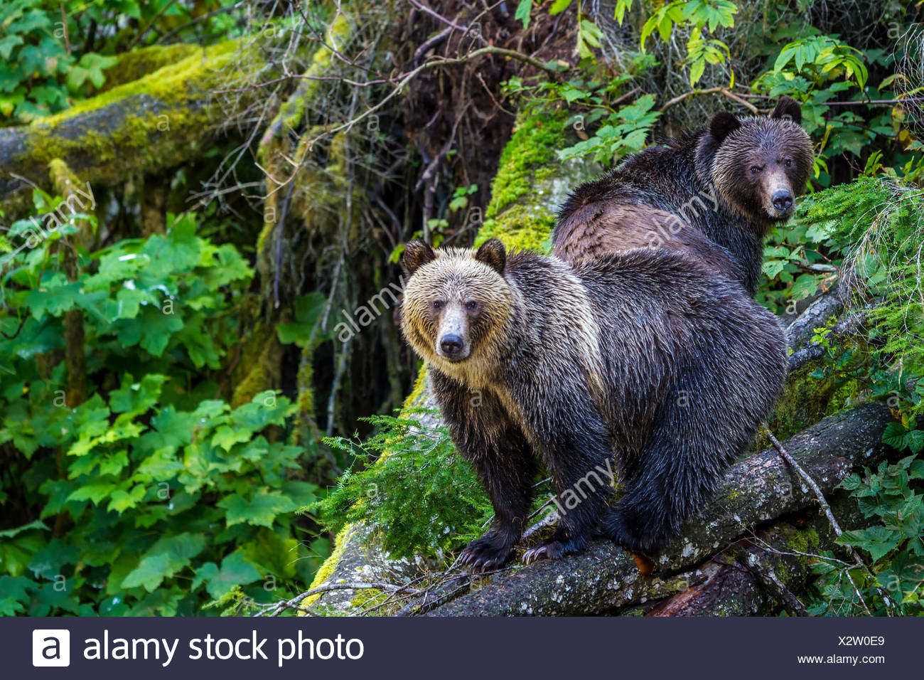 Grizzly Bear cubs standing on a fallen tree along Knight Inlet in British Columbia, Canada. Stock Photo