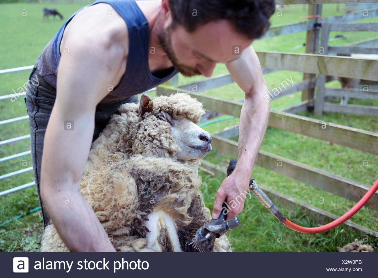 Sheep Pen Stock Photos & Sheep Pen Stock Images - Alamy