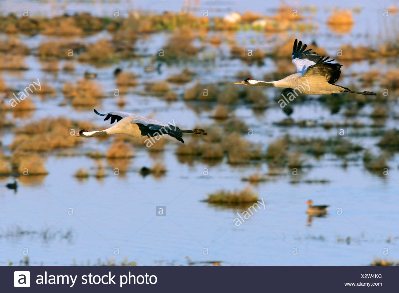 Couple of flying common cranes (Grus grus) in the morning light over the lake Hornborga - Sweden, Europe Stock Photo