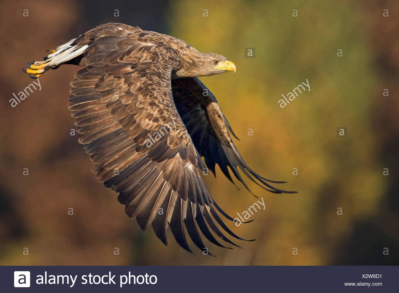 white-tailed sea eagle (Haliaeetus albicilla), adult flying, Poland, Plock Stock Photo