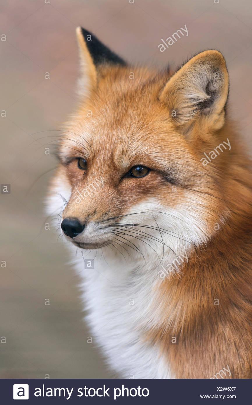 Red Fox, Lower Saxony, Germany / (Vulpes vulpes) - Stock Image