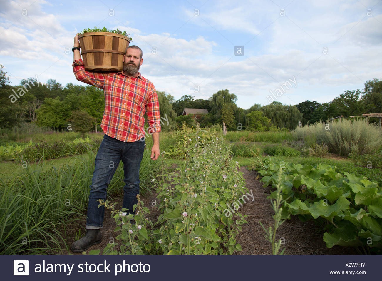 Mature man holding basket of leaves on herb farm - Stock Image