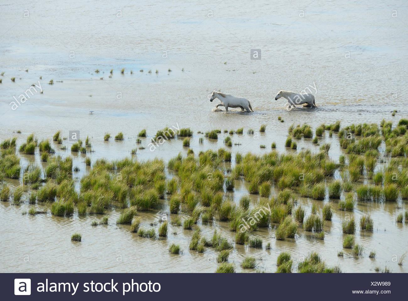 Europe, France, Languedoc- Roussillon, Camargue, wetland, white horses, grey horses, animal, horse, nature, wildlife, reserve, w - Stock Image